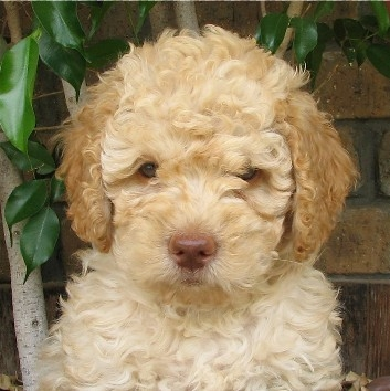 cream-labradoodle-puppy